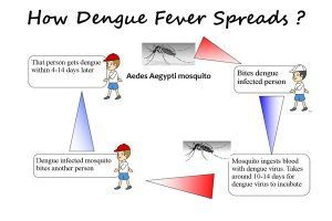 dengue fever transmission