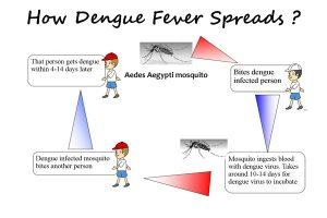 dengue virus transmission